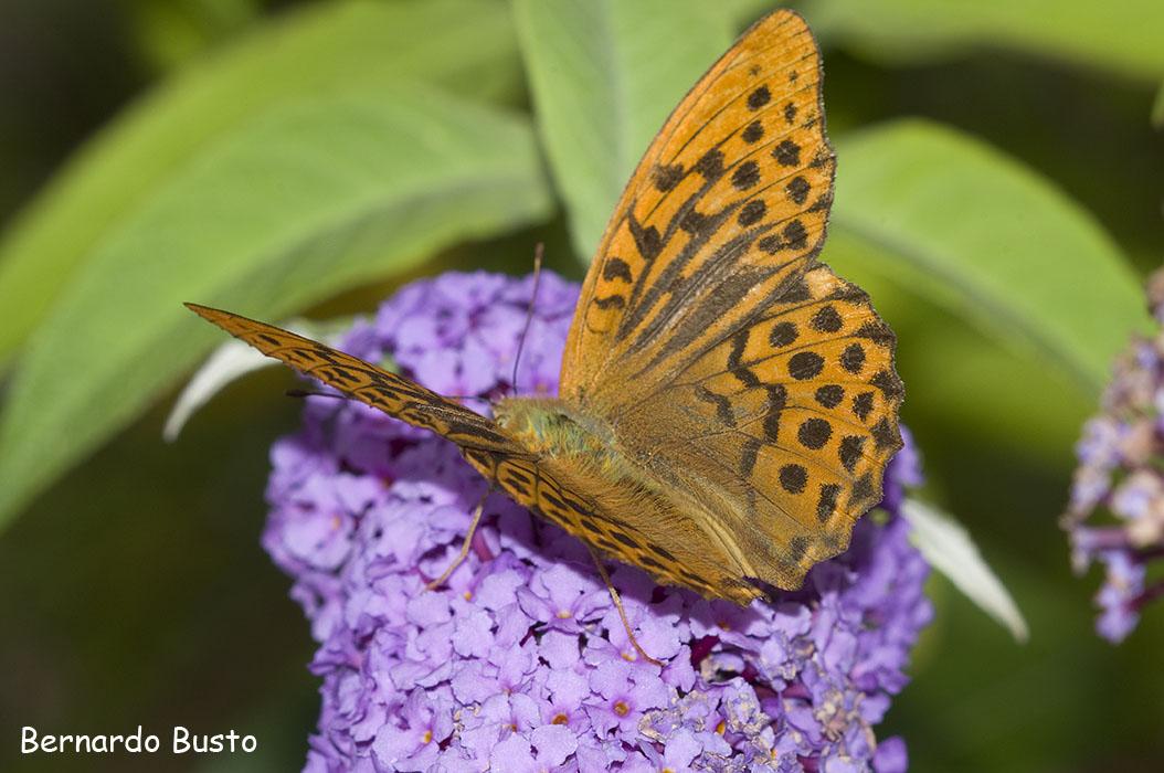 R a de la villa arbusto de las mariposas for Villas las mariposas