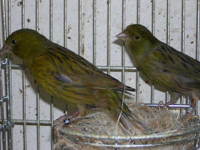 Como criar canarios
