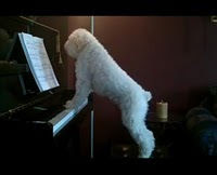 perro pianista videos chistosos