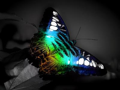 butterfly wallpaper beauty dekstop design