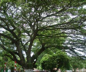 Pembibitan Pohon Trembesi (Ki Hujan) Koramil 0111/Pagelaran Kodim 0601