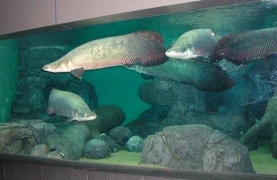 6 10 ikan prasejarah yang masih ada hingga sekarang
