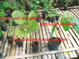 Bibit Jati Solomon Kultur Jaringan