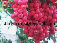 Lillipilli, fruits health, dailyfruits.blogspot.com