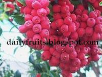Lillipilli, fruits health, dailyfruits.blogspot.com