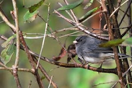 here for a while - a junco
