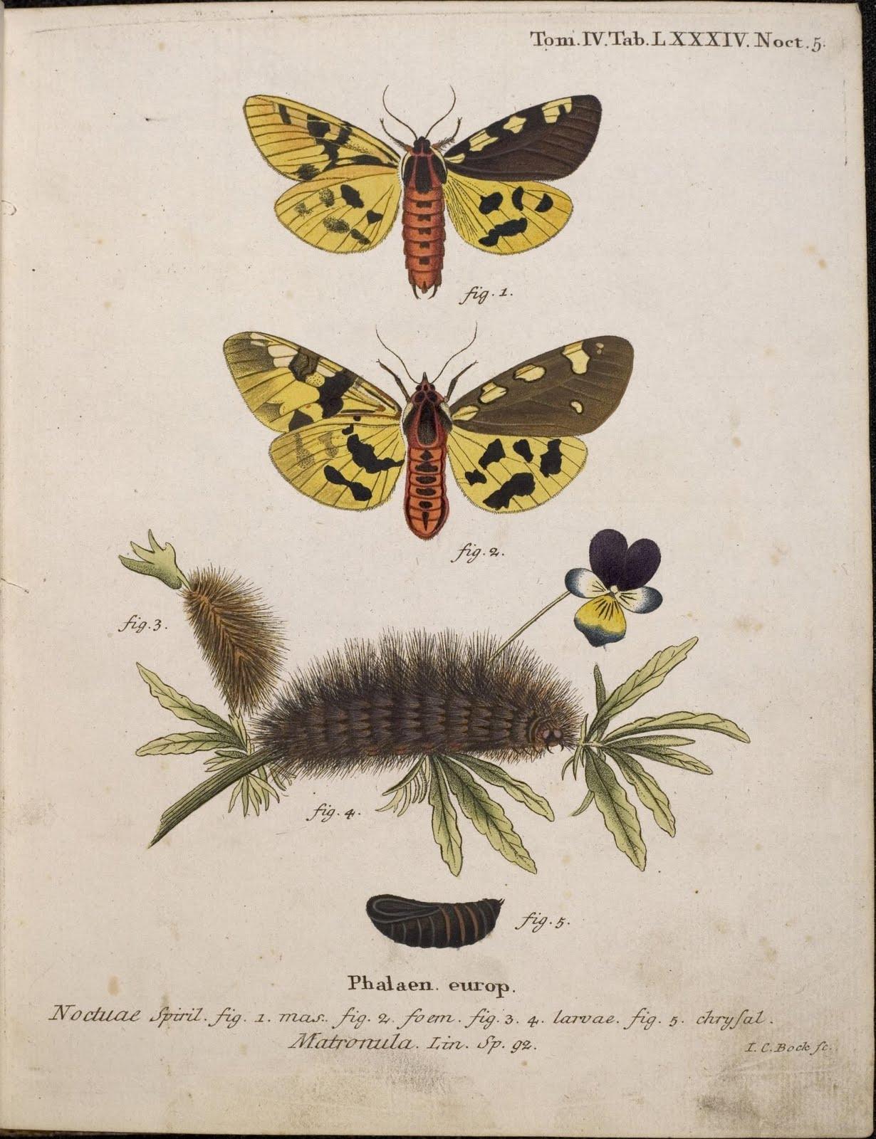 Die Schmetterlinge by EJC Esper, 1786 - Matronula