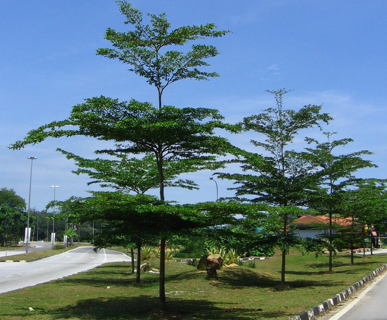 Bucida molineti (pokok doa)