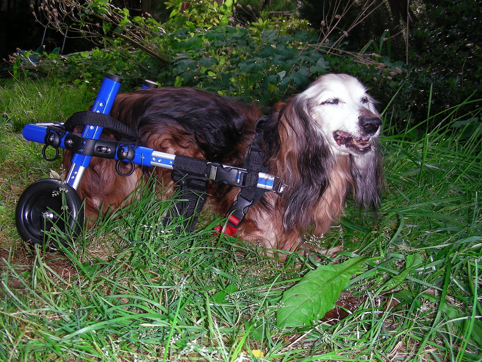 Handicapped Pets A Walkin Wheels Dog Wheelchair Family