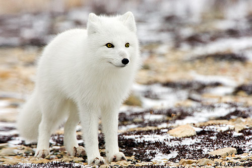 The Arctic fox is a small fox