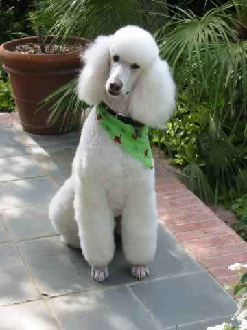 the poodle s fancy haircut evolved as a way to