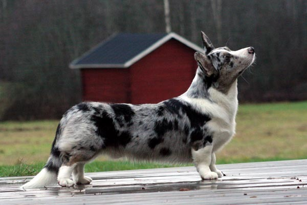 cardigan welsh corgi Download Video | Pathan wife want free sex thumbnail. Tags: sex, wife.