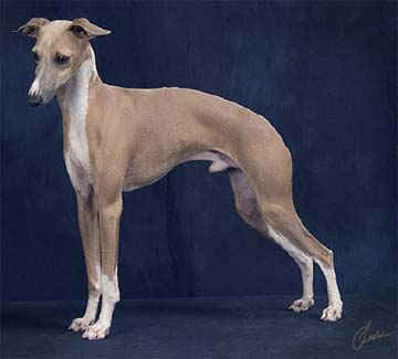 Italian+greyhound