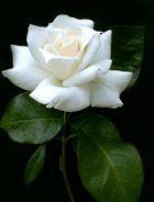 Rosen är till födelsedagsbarnet.