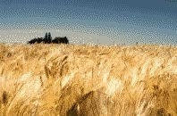 color photograph of rye field