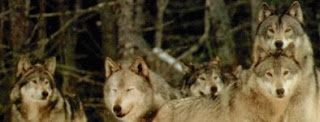 wolves color photograph