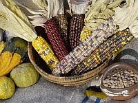 A color photo of 'The Three Sisters' or corn, beans and squash.
