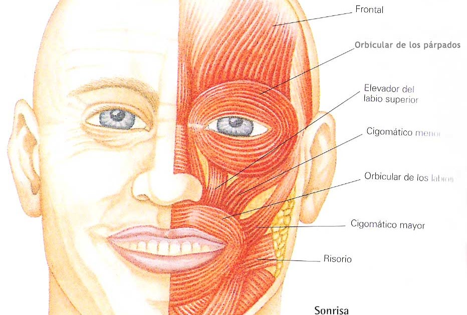 Prótesis dentales: MÚSCULOS CARA