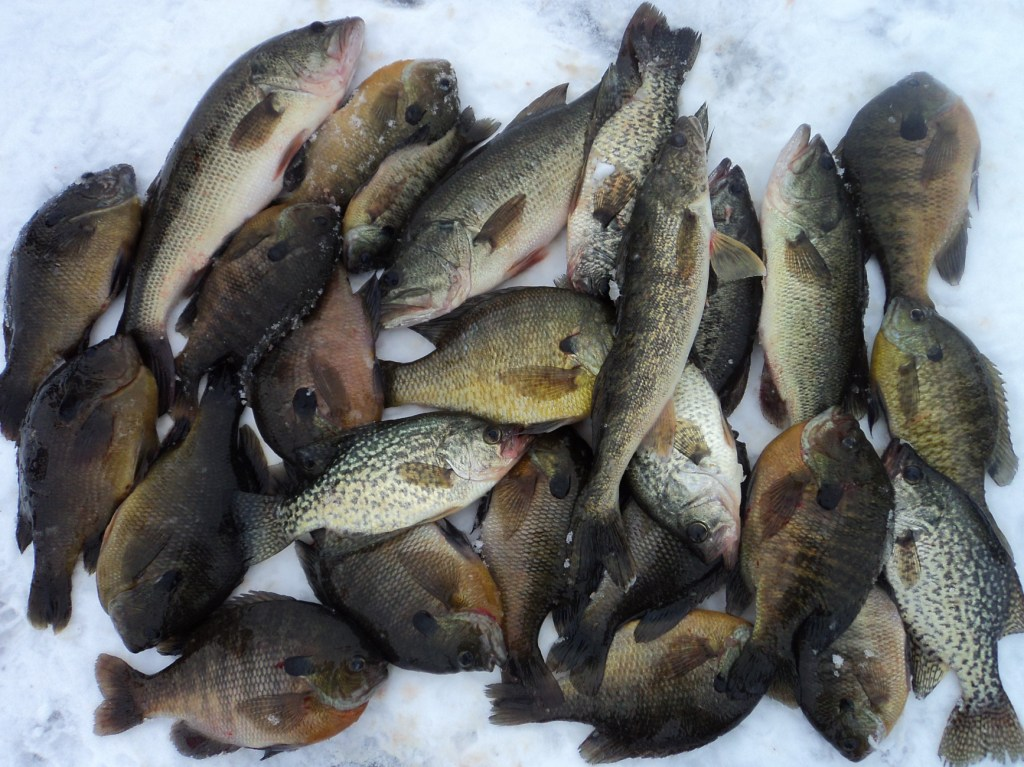 The gallery for largemouth bass eating bluegill for Ice fishing for bass