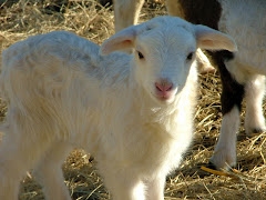 I Love Lambs