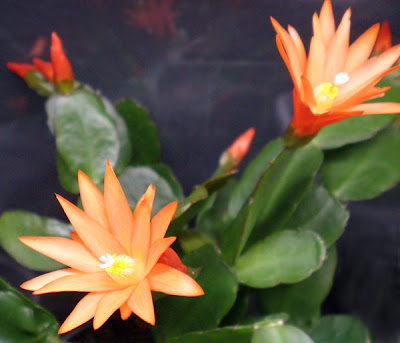 orange easter cactus
