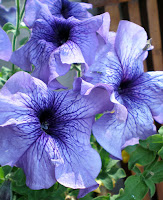 flower blue purple petunia