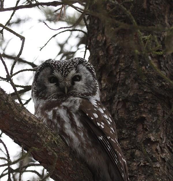 Amherst Island Birding