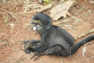 tiny black monkey klein