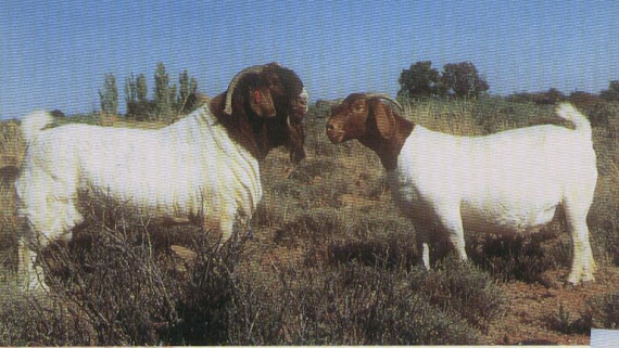 SOUTH AFRICA BOER