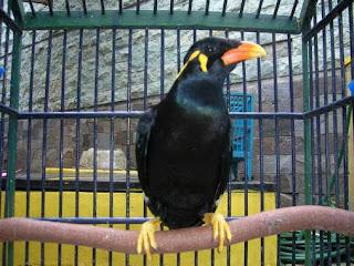 Lorenzo, Burung beo cerdik pengedar narkoba