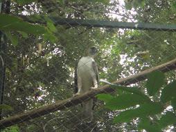 Philippine Eagle (Pag-Asa)