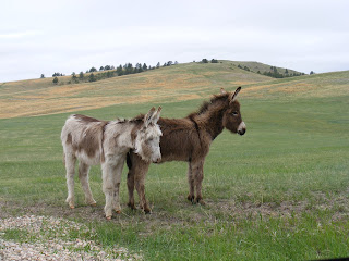 Baby Mules at Custer State Park