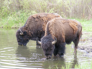Thirsty Buffaloes at Custer State Park