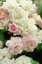 Rosas  Noisette