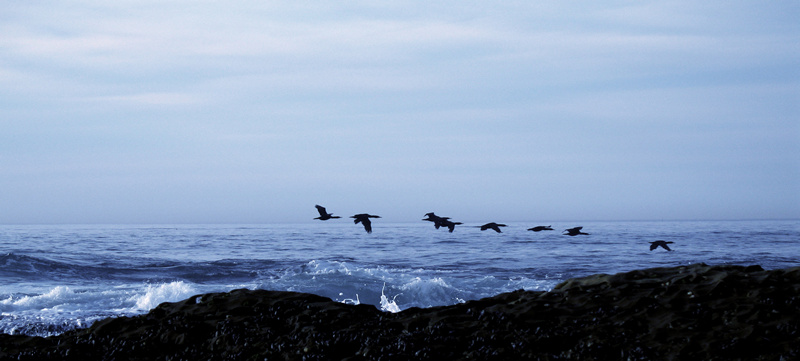 cormorants; click for previous post
