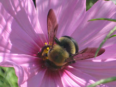 cosmos avec bee