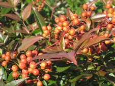 nandina berries
