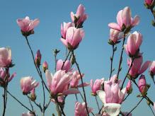 anne magnolia
