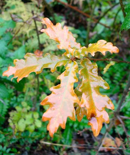 Mcentegart S Rv Escapades Oak Leaf Hydrangea Osmanthus Allen
