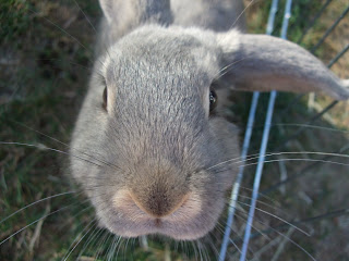 lop eared bunny rabbit