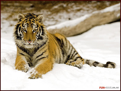 Snowy Afternoon, Tiger - Desktop Picture
