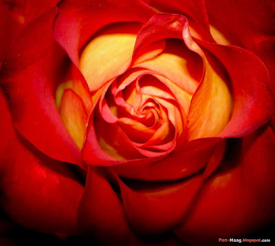 Download free desktop wallpaper - flower picture, red rose