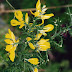 Gorse: Highly invasive invader in cooler climate conditions in the Upcountry