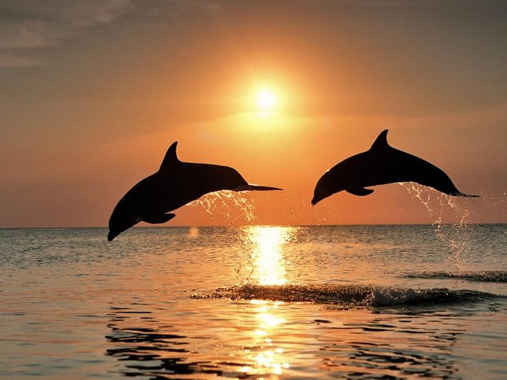 Hermosa vista de delfines al atarceder