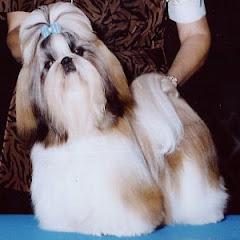 Shih tzu con pelo largo
