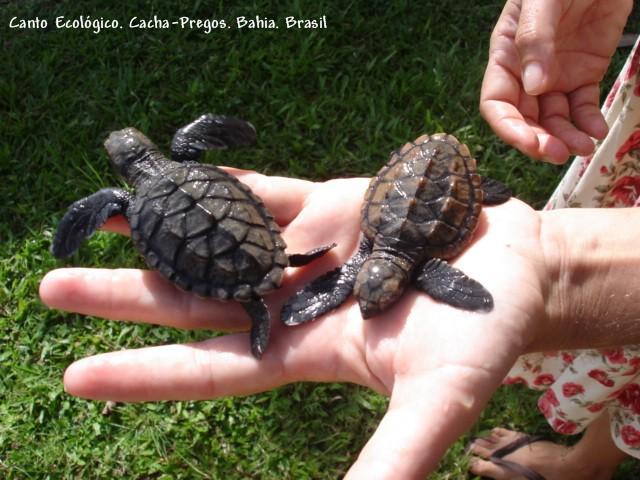 filhotes de tartarugas marinhas....