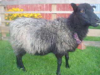 [sheep+095.JPE]