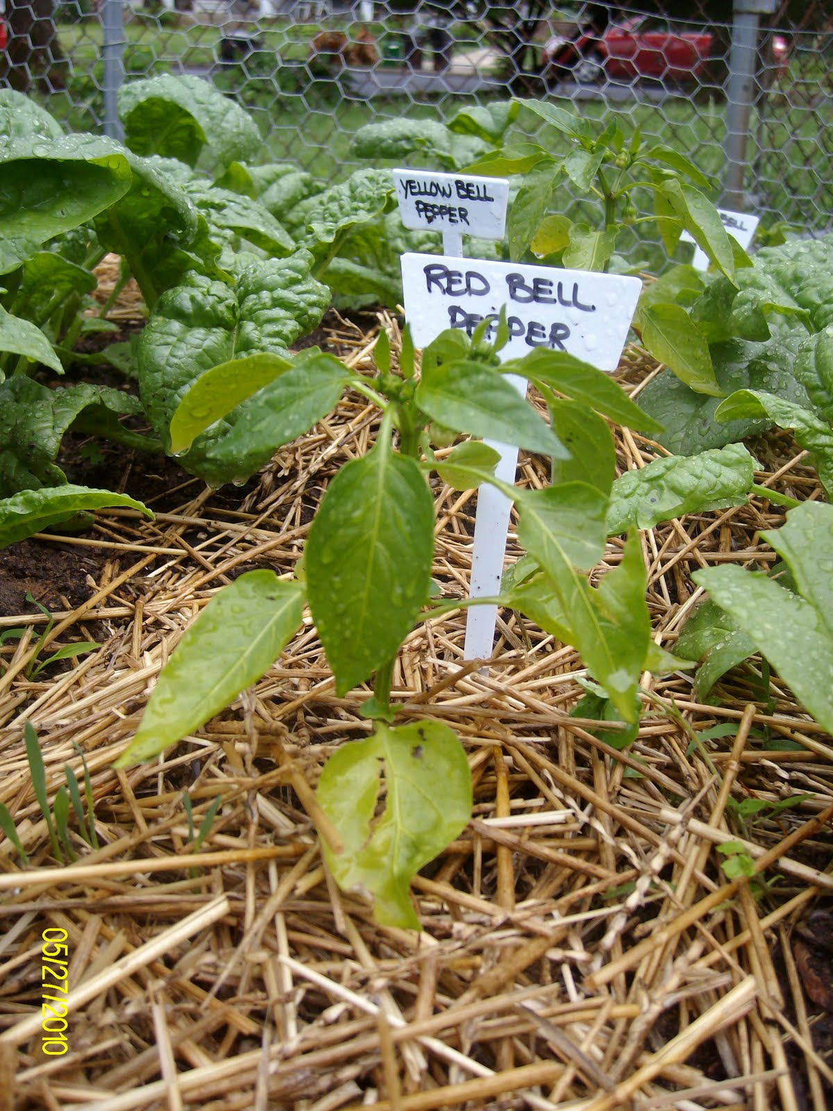 how to tell when buttercrunch lettuce is ready to pick