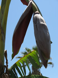 Our first banana bloom on our trees