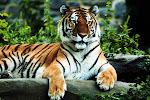 Hi, I am Tiger...